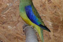 Neophema / Il genere neophema è composto da 7 specie di pappagallini la cui colorazione base è rappresentata dal verde (unica eccezione il neophema Bourkii) inframmezzata da zone blu, gialle, rosse.  http://www.pappagallinelmondo.it/neophema.html