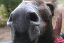 I Love Donkeys & Mules  / Donkeys and mules...I can't resist!