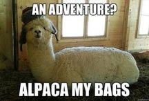 alpacas funny