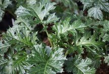 ΑΓΡΙΟΛΟΥΛΟΥΔΑ- ΑΓΡΙΑ ΧΟΡΤΑ ΦΑΓΩΣΙΜΑ - ΑΓΡΙΟΧΟΡΤΑ ΖΗΖΑΝΙΑ - ΦΥΤΑ ΜΑΓΙΑΣ ΚΑΙ ΠΡΟΚΑΤΑΛΗΨΕΩΝ / Τα άγρια φαγώσιμα χόρτα και φυτά που υπάρχουν στην Ελληνική ύπαιθρο, είναι ιδιαίτερα πλούσια σε βιταμίνη C, φλαβονοειδή, πολυφαινόλες, ω-3 λιπαρά οξέα και σε α-λινολενικό οξύ, συστατικά που συνεισφέρουν σημαντικά στην αντιοξειδωτική άμυνα του οργανισμού. Πηγή: http://botanakaiygeia.blogspot.com/p/blog-page_3915.html#ixzz3qAfO66ao