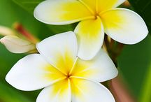 kambodia flower