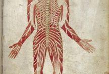 Ilustración científica  / Medicina, anatomia