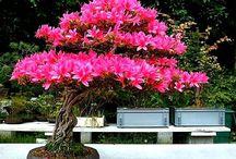 boazai tree