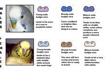 Budgies Bird