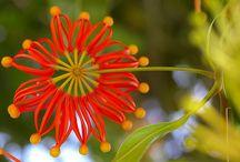 Firewheel tree (Australia)