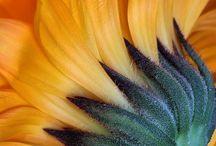 Sunflower/Auringonkukka