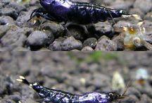 Aqua-Shrimps