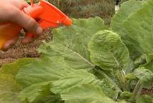 Plantas vinagre como herbicida