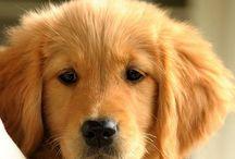 Puppy Labrador dogs