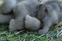 fil yavrusu