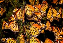 BUTTERFLIES!!! / Anything & Everything Butterfly. / by jessica starnes