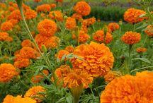 Howells flower field