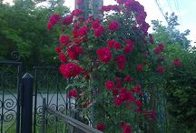 Trandafirtrandafir