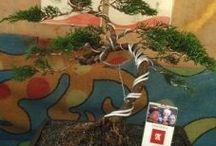 Cemara bonsai