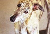 Greytness / Greyhound dog information