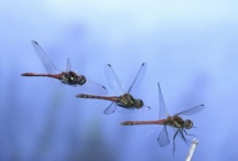 Dragonflies / by JerylSwanson