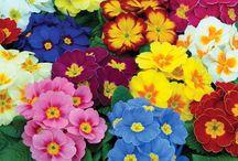 Kasvio kukkivat ruukkukukat / floristiopiskelu kasvio- ruukkukukat