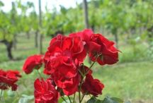 Nos vignes / Our vineyards