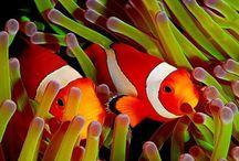 Clownfish and Anemone / Mutualism
