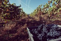 Vine Harvest / It all starts out there, at the beautiful vineyards of Trás Os Montes region. We pick with dedication and passion only the best grapes that nature has to offer, aiming for top quality tastes. Taste Vinhos Trás Os Montes, taste Portugal. #CVRTM #trasosmontes #itastetrasosmontes