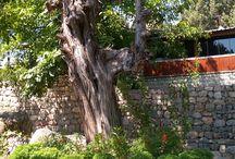 ardıç ağacı