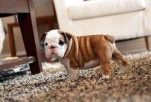 Bulldog / by Julie Jividen