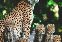 Lions cheetahs etc
