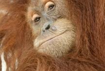Orangutan Haven
