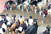 Milk Crisis - Articles
