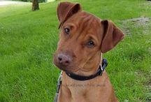 Black Choco Tan Terrier / BCT terrier