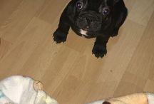 Francia Bulldog, Liza és Coco
