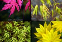 beauty of japanese maples