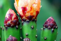 Flower Cactus / Flowers