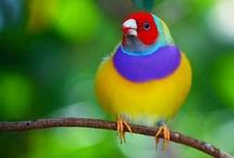 Aves - Pássaros