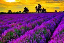Lavendar pictures / Lavender, lavender oil, Provence