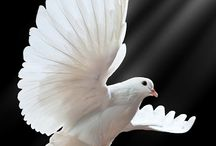 White Dove-KdL365 / The Dove has been along time as symbol of Peace in the History of Mankind, but the Dove has great symbolism and is mentioned times in scipture. The first occurrence we read about it, it was one man named Noah. A doves as a symbolic beauty is an symbolic of the holy spirit and represents peace like when a believers recieves and born again. God is still sending out his ´´Doves´´ today to bring the message of hope and peace to all who still have the wrath of God.