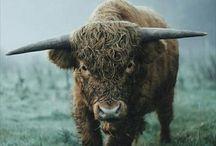 Kühe Bison & Co