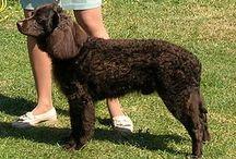 Sporting Group (AKC) / In der Sporting Group werden Rassen geführt, die den Jäger beim Auffinden des Wilds unterstützen (Vorstehhunde, Stöberhunde, Spaniels) und/oder die geschossene Beute apportieren (Retriever).