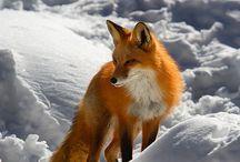 Fox mad (animals)