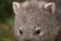 Infraclass Marsupial. / Includes Kangaroos, Wallabies, Koalas, Possums, Wombats, Tasmanian Devils, and Sugar Gliders.