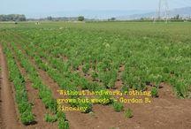 Stevia cultivation