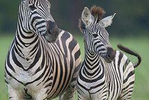 Zebra crazy Grandma / by Wendy Ricketts