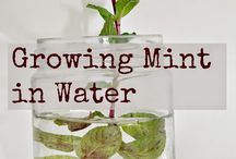 Mint / Information about the herb and things to do with children.