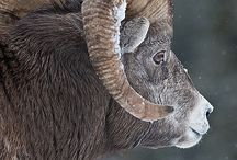 Ram / by Aries
