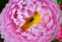Western Australian Daisies / Beautiful daisy wildflowers from one of the world's bio-diversity hotspots