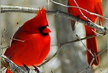 Cardnials and Blue Jays  (Birds)