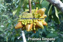 Borneo fruit seeds for sale / Borneo fruit seeds for sale