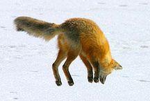 So Funny / Funny foxes having fun