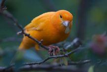 3 Jenis Burung Kenari Termahal di Dunia