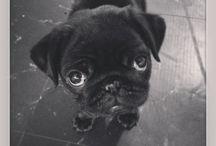 Peggy-Sue / My Pug